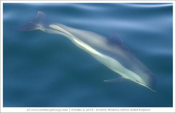 Merci à www.whalesightings.com pour cette image