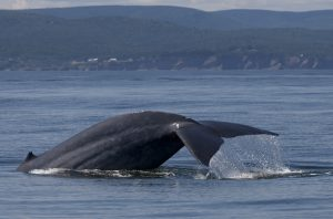 blue whale oktay kaya